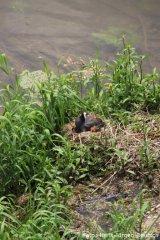 Brütende Blesshühner am Donauufer