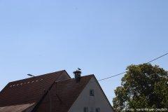 Storchenfamilie auf einem Hausdach in Algershofen